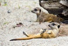 Faules meerkat Lizenzfreie Stockbilder