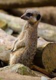 Faules meerkat, das an der Niederlassung auf Schutz sich lehnt Stockbild