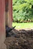 Faules Schwein, das im Schlamm schläft stockfotografie