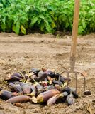 Faules verdorbenes Auberginengemüse liegt auf dem Feld schlechtes Erntekonzept Produktionsabfall, Pflanzenkrankheit Landwirtschaf lizenzfreie stockbilder