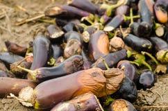 Faules verdorbenes Auberginengemüse liegt auf dem Feld schlechtes Erntekonzept Produktionsabfall, Pflanzenkrankheit Landwirtschaf stockbilder