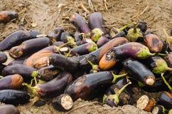 Faules verdorbenes Auberginengemüse liegt auf dem Feld schlechtes Erntekonzept Produktionsabfall, Pflanzenkrankheit Landwirtschaf lizenzfreie stockfotos