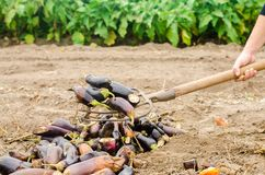 Faules verdorbenes Auberginengemüse liegt auf dem Feld schlechtes Erntekonzept Produktionsabfall, Pflanzenkrankheit Landwirtschaf lizenzfreies stockfoto