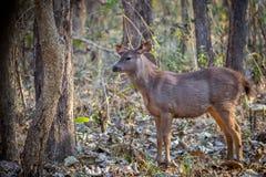 Faun оленей Sambar Стоковые Изображения