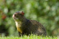Fauna, Agouti de A Azara masculina en un campo Fotografía de archivo libre de regalías