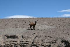 Fauna andina fotografia stock libera da diritti