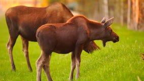Fauna animal Marsh Alaska Greenbelt de los alces del becerro salvaje de la vaca almacen de metraje de vídeo