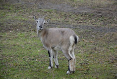 fauna animale Capra Immagini Stock Libere da Diritti