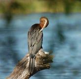 Fauna avícola en África: Darter africano Foto de archivo libre de regalías