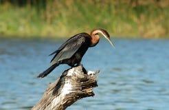 Fauna avícola en África: Darter africano Fotografía de archivo