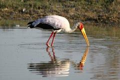 Fauna avícola en Botswana Foto de archivo libre de regalías
