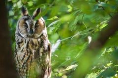 Fauna: Búho de orejas alargadas/otus del Asio - pájaro en un árbol imagen de archivo libre de regalías