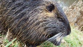 Fauna, Beaver, Mammal, Porcupine