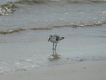 Fauna, Bird, Shorebird, Seabird royalty free stock images