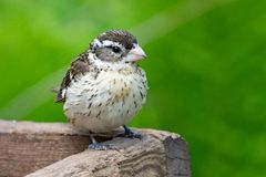 Fauna Birds Backyard Conservation Rose Breasted Grosbeak Female royalty free stock images