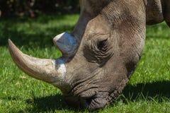 Fauna blanca de la pista del rinoceronte imagen de archivo