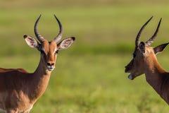 Fauna Buck Males Animal Imagenes de archivo
