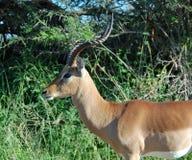 Fauna de África: Impala Imagen de archivo libre de regalías