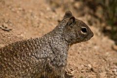 Fauna de la barranca magnífica Fotos de archivo