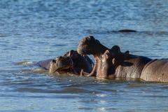 Fauna de la lucha de los hipopótamos Fotografía de archivo