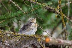Fauna de la montaña Polluelo del throstle en un alerce Foto de archivo libre de regalías