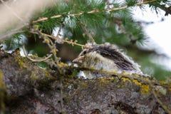Fauna de la montaña Polluelo del throstle en un alerce Fotografía de archivo
