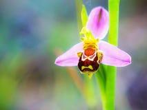 Fauna de la orquídea de abeja Fotos de archivo libres de regalías