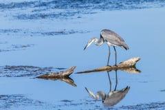 Fauna de las reflexiones del agua del pájaro fotografía de archivo