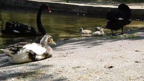 Fauna de los p?jaros, pato tranquilo que miente cerca del agua de superficie con los cisnes negros y polluelos metrajes