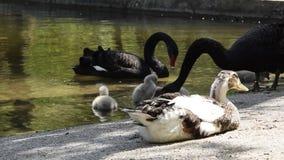 Fauna de los p?jaros, pato tranquilo que miente cerca del agua de superficie con los cisnes negros y polluelos almacen de metraje de vídeo