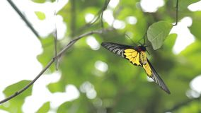 Fauna de oro femenina de Birdwing en la montaña Taiwán almacen de video