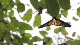 Fauna de oro femenina de Birdwing en la montaña Taiwán metrajes