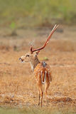 Fauna de Sri Lanka El ceylonensis srilanqués de AXIS de los ciervos del eje, o Ceilán manchó los ciervos, hábitat de la naturalez fotos de archivo