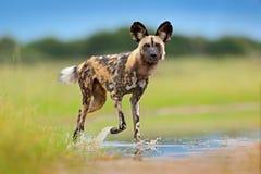 Fauna de Zambia, Mana Pools Perro salvaje africano, caminando en el agua en el camino Búsqueda del perro pintado con los oídos gr imagen de archivo