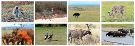 Fauna del collage de Kenia Fotografía de archivo libre de regalías
