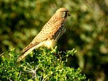 Fauna del halcón seria imágenes de archivo libres de regalías