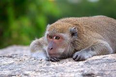 Fauna del mono tailandés en la emoción sola Foto de archivo libre de regalías