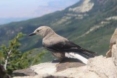 Fauna del pájaro de las montañas rocosas en roca Imágenes de archivo libres de regalías