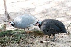 Fauna del pavo en el parque zoológico imágenes de archivo libres de regalías