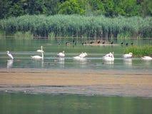 Fauna do lago Imagens de Stock
