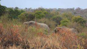 fauna Dos elefantes salvajes africanos imagenes de archivo