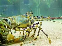 Fauna dos mares e dos oceanos Lagosta azul imagens de stock royalty free