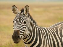 Fauna en África, cebra Fotos de archivo libres de regalías