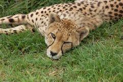 Fauna en África: Guepardo Imágenes de archivo libres de regalías