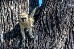 Fauna en Botswana Fotos de archivo
