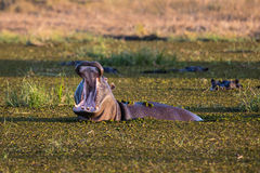 Fauna en Botswana Imagenes de archivo
