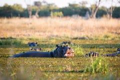 Fauna en Botswana Foto de archivo