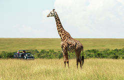 Fauna en Maasai Mara, Kenia Fotos de archivo