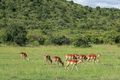 Fauna en Maasai Mara, Kenia Imagenes de archivo