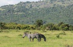 Fauna en Maasai Mara, Kenia Foto de archivo